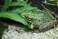 Green frog, Rana clamitans, native American amphibian animal, wildlife, in northeastern United States, Pennsylvania, distinctive and large tympanum