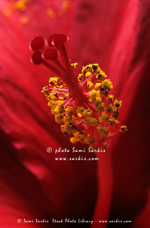 Stamen with pollen in a red hibiscus flower.