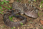 Uracoan Rattle Snake, Crotalus durissus vegrandis, found only in Venezuela in South America, defensive, aggressive pose, striking, noise, noisy, venemous, poisonous.Central America....