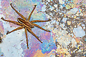 Raft Spider female {Dolomedes fimbriatus} on Heathland pool, Surrey, UK. October. The multicoloured film results from chemoautotrophic bacteria that oxidise iron and manganese ions in the water, with the colours being caused by thin film interference.