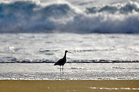 Long-Billed Curlew on beach. Point Reyes National Seashore. California