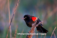 01603-022.14 Red-winged Blackbird (Agelaius phoeniceus) male in wetland Marion Co. IL