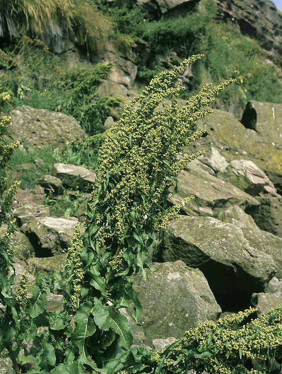 NORTHERN DOCK Rumex longifolius (Polygonaceae) Upright perennial of disturbed ground, often beside rivers and roads, or near the coast. Rather similar to Curled Dock. FLOWERS are pale green, borne in narrow spikes. FRUITS are heart-shaped and lack teeth and tubercles (Jul-Sep). LEAVES are up to 80cm long, broader than those of Curled Dock. STATUS-Locally common only in C Scotland.
