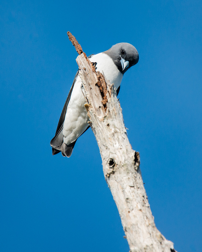 White-breasted Woodswallow, Ballina, New South Wales.