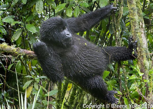 Gorilla Up A Tree Rwanda 2015