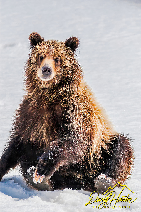 Sitting Grizzly Bear cub, Grand Teton National Park