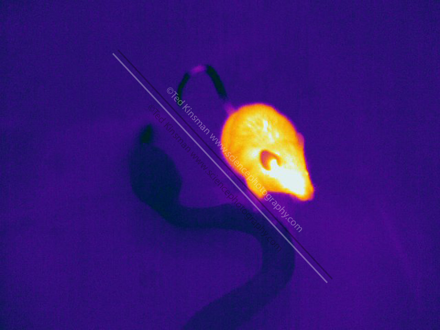 Thermogram of a mouse and a snake.  The cold blooded snake is much darker  (cooler) than the mouse.  The different colors represent different temperatures on the object. The lightest colors are the hottest temperatures, while the darker colors represent a cooler temperature.  Thermography uses special cameras that can detect light in the far-infrared range of the electromagnetic spectrum (900?14,000 nanometers or 0.9?14 µm) and creates an  image of the objects temperature..