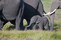 Young African Elephant tries to keep up with adults, Amboseli National Park, Kenya.