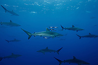 RM0599-D. Silky Sharks (Carcharhinus falciformis), and Pilotfish (Naucrates ductor). Pilotfish are commensal symbionts, living in association with sharks and other pelagic animals. Baja, Mexico, Pacific Ocean. <br /> Photo Copyright &copy; Brandon Cole. All rights reserved worldwide.  www.brandoncole.com