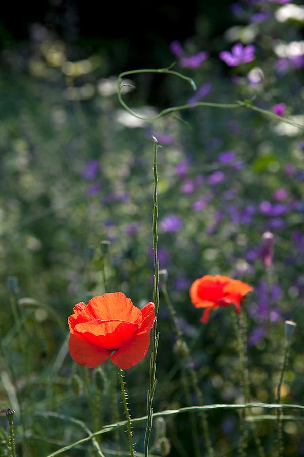 Poppies in Parco Pollino, Pollino Park, Basilicata, ITALY