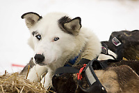 *Eagle,* one of Mitch Seavey's dogs, rests in Nulato on Saturday during Iditarod 2008