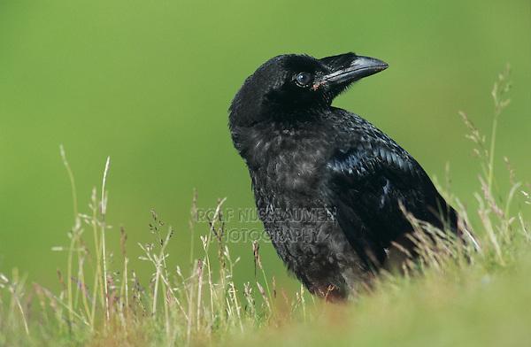 Common Raven, Corvus corax,young, Ekkeroy, Norway, Europe