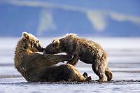 Racer suckles with Paula at Hallo Bay. Kodiak grizzly bears (Ursus arctos middendorffi)