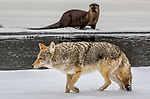 USA, Wyoming, Yellowstone National Park, coyote (Canis latrans), North American river otter (Lontra canadensis)