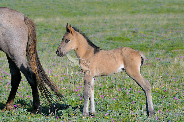 Wild Horse or feral horse (Equus ferus caballus) colt.  Western U.S., summer.  The leg striping on the colt's front legs are one indication of historic Spanish ancestry.