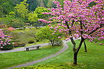 Seattle, WA<br /> Cherry tree in blossom with path in the Japanese garden in the Washington Park Arboretum