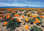FB-S134,  Antelope Valley, CA poppies