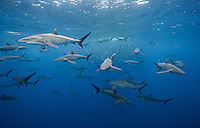 silky shark and baitball photos