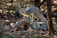 Gray Fox with Kit