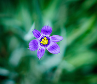 The vibrancy and beauty of wild blue-eyed grass