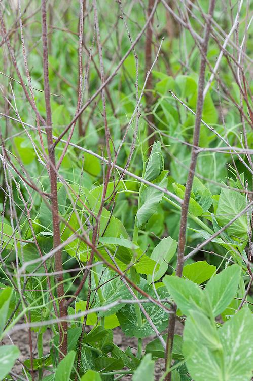 'Kelvedon Wonder' peas, mid May.