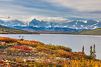 Bull caribou in autumn tundra along the shore of Wonder Lake, mt Brooks of the Alaska Range mountains, Denali National Park, Interior, Alaska.
