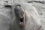 elephant seal bull