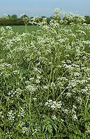 Wiesen-Kerbel, Wiesenkerbel, Anthriscus sylvestris, cow parsley, wild chervil, wild beaked parsley, keck, Queen Anne's lace