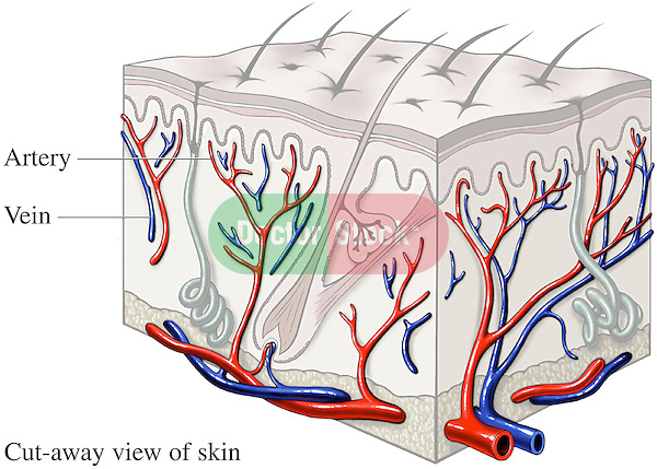 This medical exhibit illustrates how blood flows through the arteries and veins of the skin.