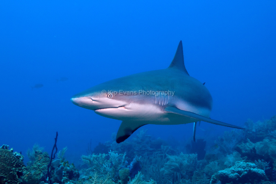 A Caribbean Reef Shark swims by a diver at Roatan,off the coast of Honduras.