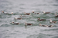 Male and female Long-tailed Duck (Clangula hyemalis) in basic (winter) plumage. Ocean County, New Jersey. January.