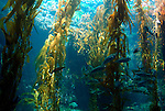 Kelp Forest, West Coast USA, showing kelp and fishes.USA....