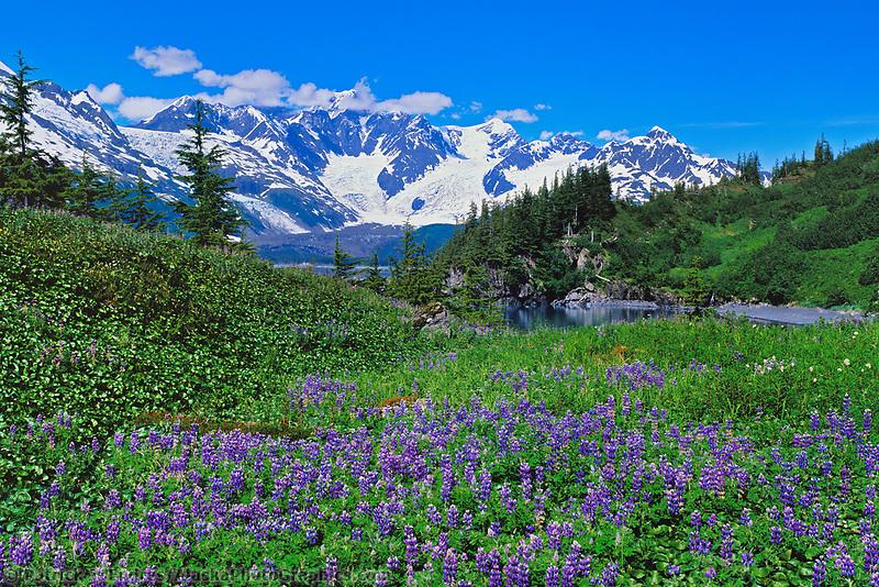 Field of Arctic lupine lupine wildflowers, Harriman Fjord, Chugach mountains, Prince William Sound, Alaska