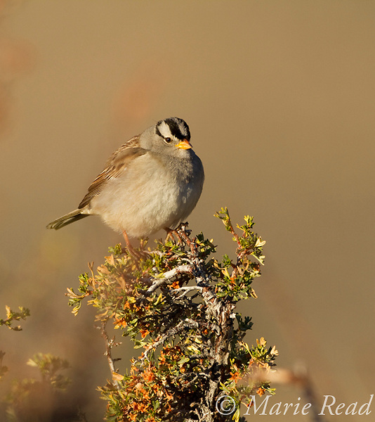 White-crowned Sparrow (Zonotrichia leucophrys, perched on bitterbrush in autumn, Mono Lake Basin, California, USA