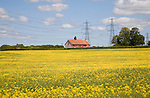 Yellow flowers of oil seed rape crop with rural house and electricity power lines, Campsea Ashe, Suffolk, England
