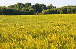 Crop of barley growing in field, Shottisham, Suffolk Sandlings, England, UK