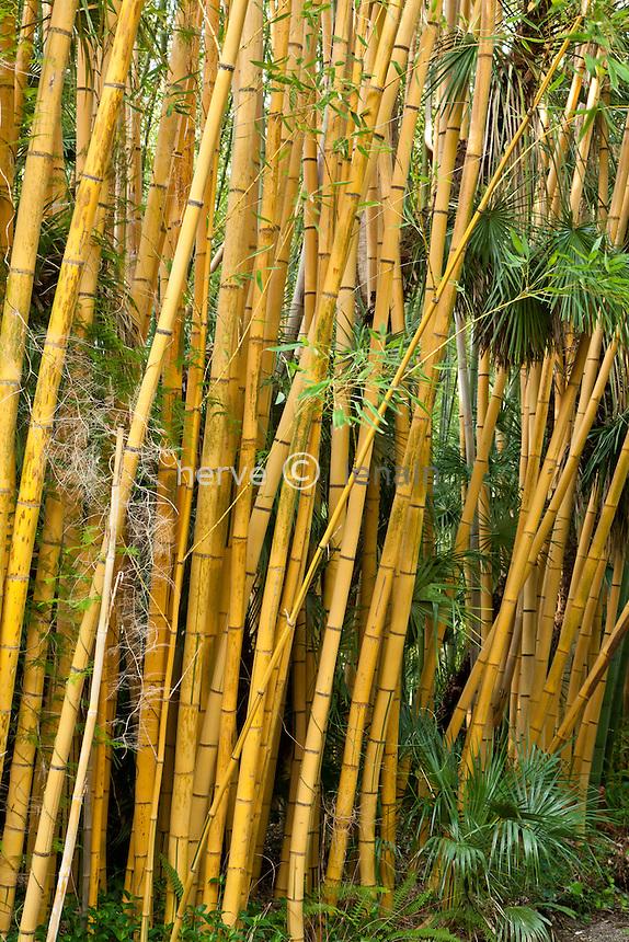 France, Alpes-Maritimes (06), Saint-Jean-Cap-Ferrat, le jardin botanique des Cèdres: bambou 'Robert Young', Phyllostachys viridis 'Robert Young'. (= Phyllostachys sulphurea 'Robert Young') // France, Alpes-Maritimes (06), Saint-Jean-Cap-Ferrat, the botanical garden les Cèdres(Cedars): Bamboo 'Robert Young' Phyllostachys viridis 'Robert Young '. (= Phyllostachys sulphurea 'Robert Young')