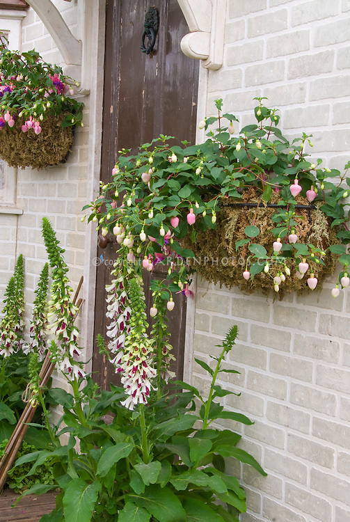 Digitalis foxglove 'Pam's Split' and pots containers baskets of Fuchsia hanging on front of house door entry