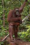 Bornean Orangutan (Pongo pygmaeus wurmbii) - mother and child