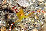 Golden Coral Shrimp with Eggs, Stenopus scutellatus, Decapoda, Underwater Marine life Behavior, Blue Heron Bridge, Lake Worth Inlet, Riviera, Florida, USA, Intra Coastal Waterway, North Atlantic Ocean.11-27-10-25