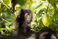 Portrait of a baaby Gorilla in Virunga National Park.