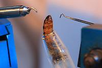 The queen's spermatheca is opened with pincers and the sperm from several drones is injected into it. ///La spermatique de la reine est ouverte à l'aide de pinces et le sperme de plusieurs faux-bourdons est injecté dans sa spermathèque.