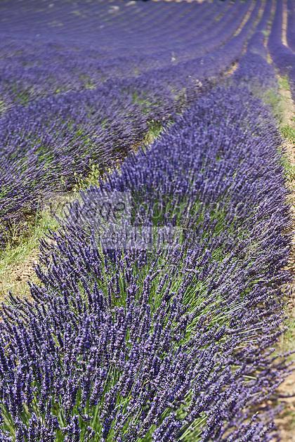 Europe/France/Provence-Alpes-Côte d'Azur/84/Vaucluse/Lubéron/Env de Saignon:  Détail champ de Lavande