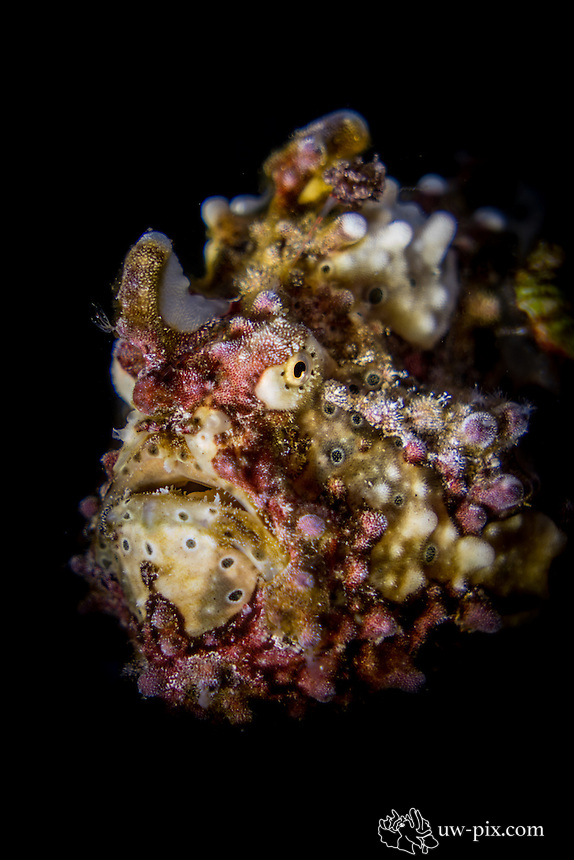 Warty Frogfish portrait (Antennarius maculatus) in the Lembeh Strait / Indonesia