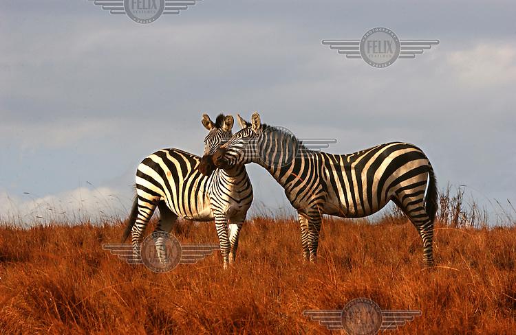Two zebras graze near the Ngorongoro Crater.