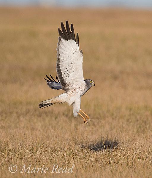 Northern Harrier (Circus cyaneus) male taking flight, winter, near Aurora, New York, USA