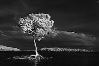 Lone tree mangrove photographed in infrared across from Comer Key in the Florida Everglades and the ten thousand islands near Chokoloskee in Collier County, Florida. Photo/Andrew Shurtleff