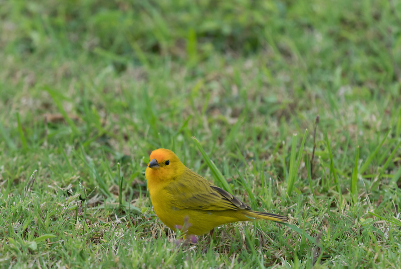 Safron Finch. Hawaii, The Big Island