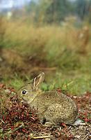 Europäisches Wildkaninchen, Jungtier, Junges, Wild-Kaninchen, Wildkanin, Kaninchen, Oryctolagus cuniculus, Old World rabbit