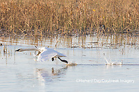 00758-02207 Trumpeter Swans (Cygnus buccinator) taking off from wetland Riverlands Migratory Bird Sanctuary St. Charles Co., MO